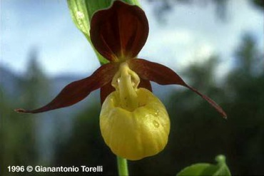cypripedium_calceolus_autor